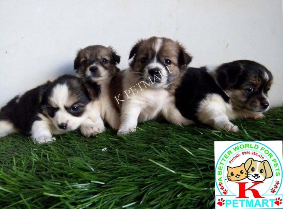 puppy nhật lông xù tìm nhà mới