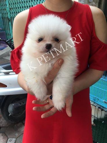 trại chó phóc sóc đà nẵng- xuất chuồng đàn pom trắng max xinh iu