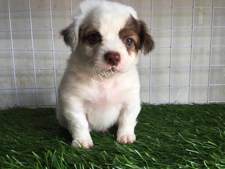 cửa hàng thú cưng thú cưng đà nẵng- puppy nhật lông xù tìm nhà mới 37583727_1365851420213350_9042434487832543232_n1