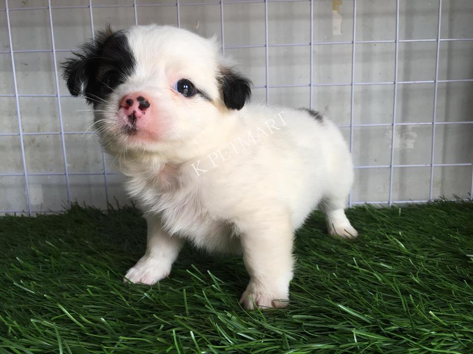 cửa hàng thú cưng thú cưng đà nẵng- puppy nhật lông xù tìm nhà mới 37592887_1365851176880041_6265086026083991552_n