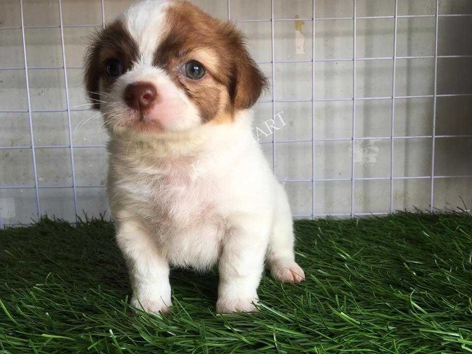 cửa hàng thú cưng thú cưng đà nẵng- puppy nhật lông xù tìm nhà mới 37671343_1365850950213397_1564412468581629952_n